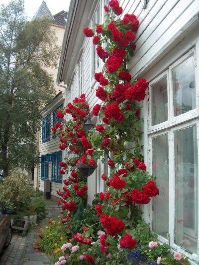 rosetrær