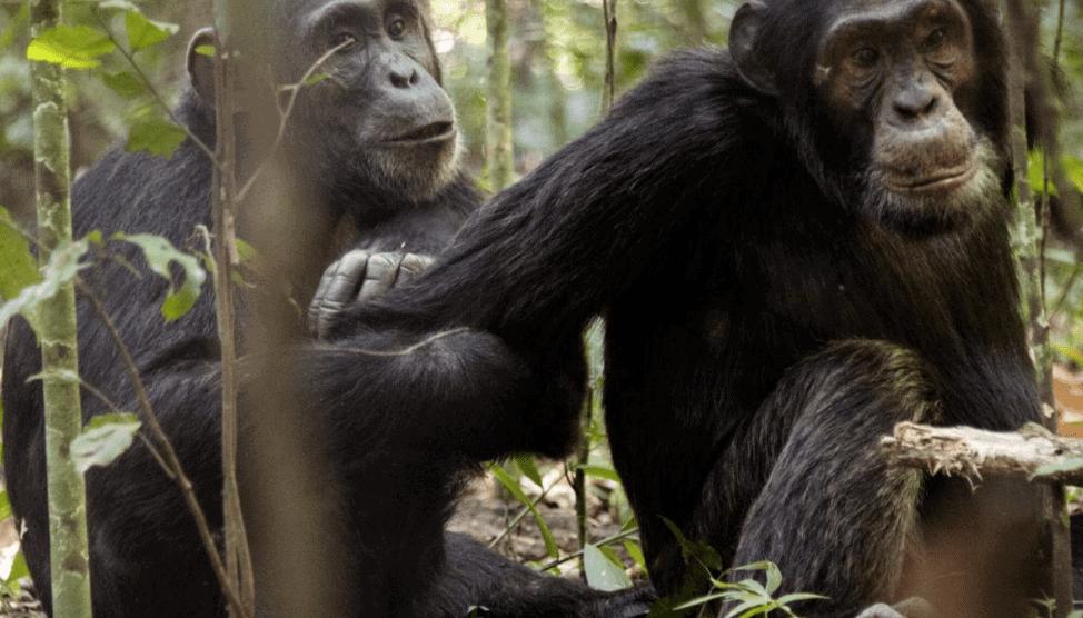 voyage de noces Tanzanie chimpanzés hors sentiers battus