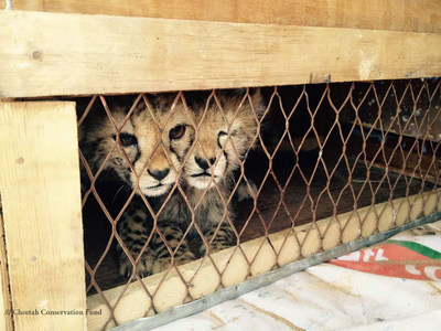 Two of the nine cheetah cubs confiscated from wildlife traffickers in Somaliland on April 19, 2017