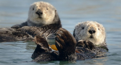 Evaluation Of Sea Otter Reintroduction To The Oregon Coast Marine Mammal Institute Oregon State University