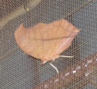 Leaf_moth