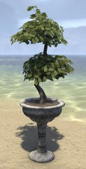 High Elf Potted Plant, Double Tiered