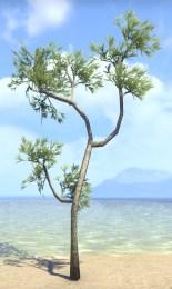 Sapling, Summerset Spruce