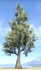 Tree, Blooming Gingko