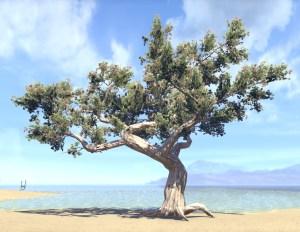 Tree, Seagrapes