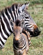 _E7A9910 Mama zebra and baby web ready
