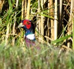 Pheasant-2014-10-10