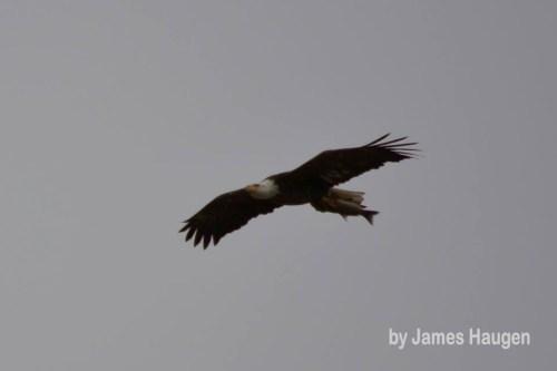 Bald Eagle by Jim Haugen w Watermark