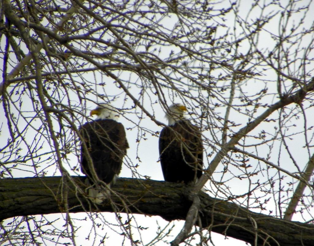 Bald Eagles – Hundreds of them! – Updated