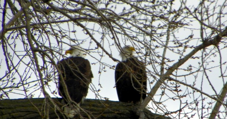 Bald Eagles – Hundreds of them! – Updated