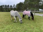 Resident horses in the paddock