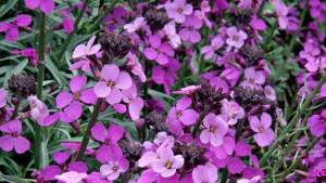 Erysimum-Bowles-Mauve'how to get the best out of your new back garden