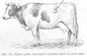 Что делать, если у теленка вздулся живот