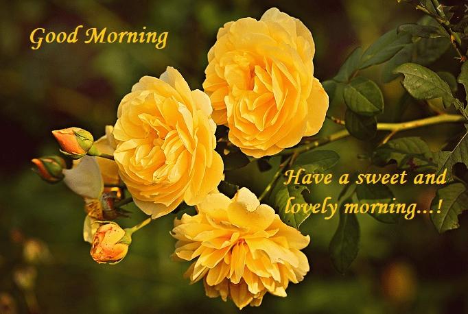 Good Morning Rose Image