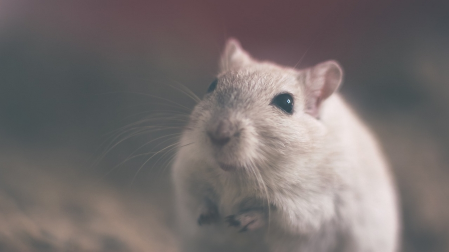 Engineered Mouse Brings University of Minnesota $1 Million