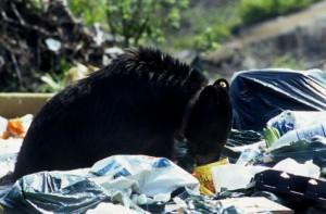 black bear 1