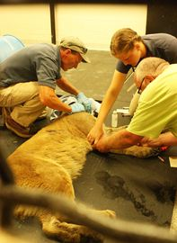 UPDATE: Captured cougar will spend rest of its life in captivity