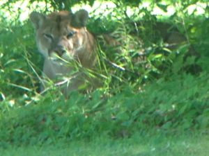 This cougar was spotted in the area of Cranberry Lake Road north of Grafton Thursday. Ministry of Natural Resources staff were called in to set a live trap.