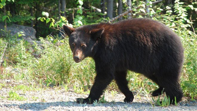 A bear cub (not pictured) found wandering around Garson this week will spend the next year or so in captivity at the Wild at Heart Wildlife Refuge Centre in Walden.