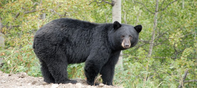 Buying Bear Parts Gets Fort Frances Man $9,000 in Fines