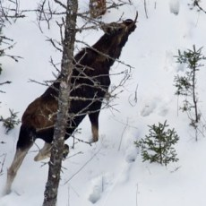 MNRF cancels aerial moose surveys in five Management Units in northwestern Ontario