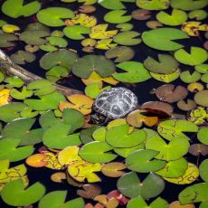 Ontario turtle population in trouble, conservationists warn
