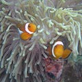 Anemonefish (Amphiprion sp.)