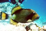 Titan Triggerfish (Pseudobalistes viridescens)