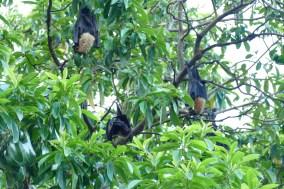 Speckled Flying Fox fruit bat of Cairns