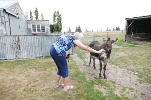 Judy petting a donkey at our rest stop and store, The Tin Shed