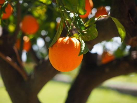 スイートオレンジ精油の原料はバレンシアオレンジなど