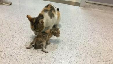 قطة تصطحب صغيرها المريض وتتوجه به إلى مستشفى 2
