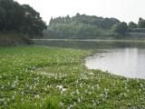 ホテイアオイの群生地「正円池」