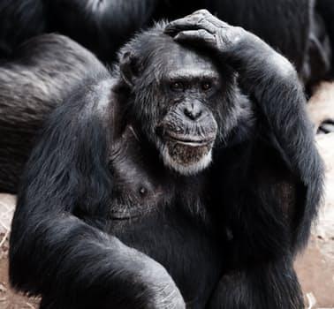 Animal-ape-black-clever