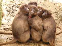 Baboons-monkey-mammal-freeze