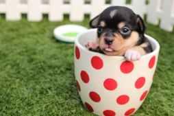 chihuahua-dog-puppy-cute