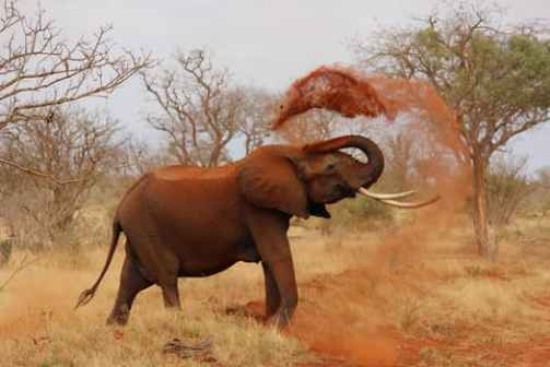 elephant-africa-african-elephant