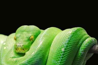 tree-green python