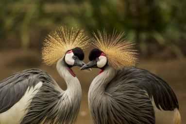 grey-crowned-crane-bird-crane-animal