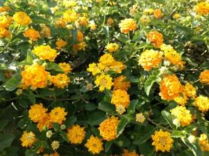 Flowers - ISKCON Temple