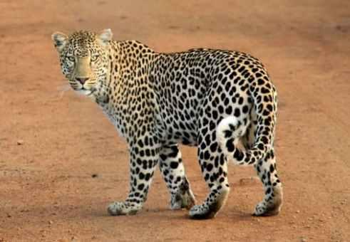 Leopard-spots-animal-wild-