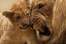 Lion-animal-predator-big-cat