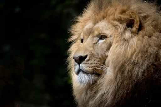 lion-wild-africa