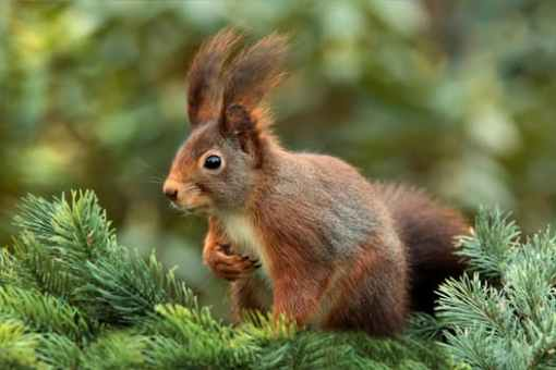 squirrel-attention-ears-cute-39484