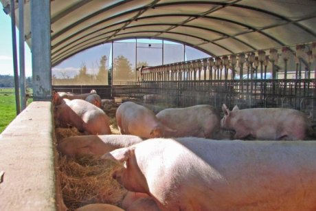 Sows in shed, Apple Isle Pork