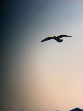 Seagull up close