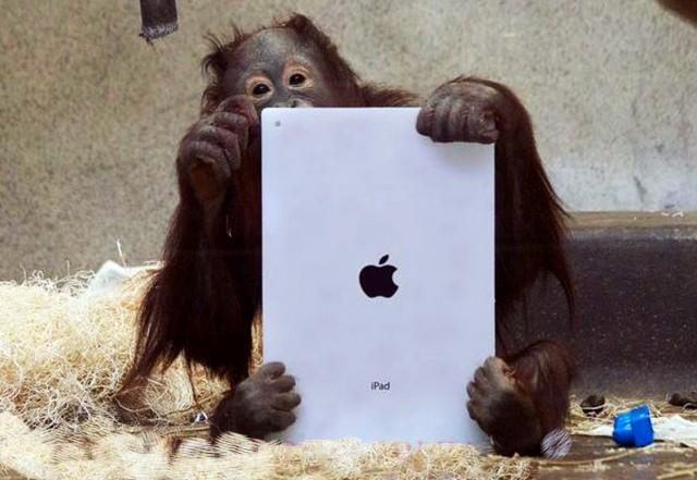 orangutan-on-ipad-1-640x441 Orangutans Go Ape Over the iPad