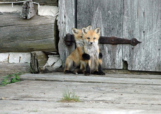 fox-photos-mobilemag-4 Fox Photography: It's Time To Fall In Love With Foxes