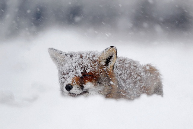 fox-photos-mobilemag-7 Fox Photography: It's Time To Fall In Love With Foxes