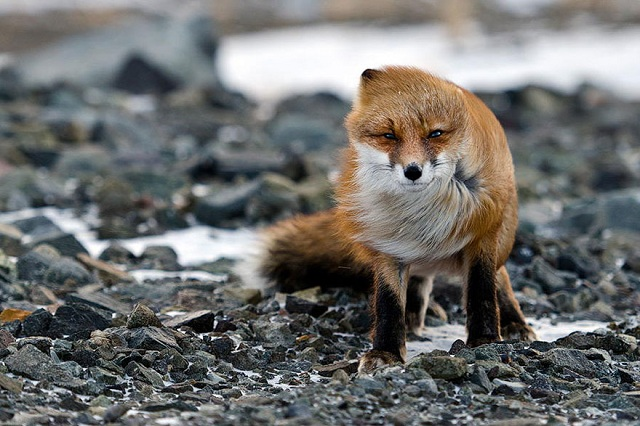 fox-photos-mobilemag Fox Photography: It's Time To Fall In Love With Foxes